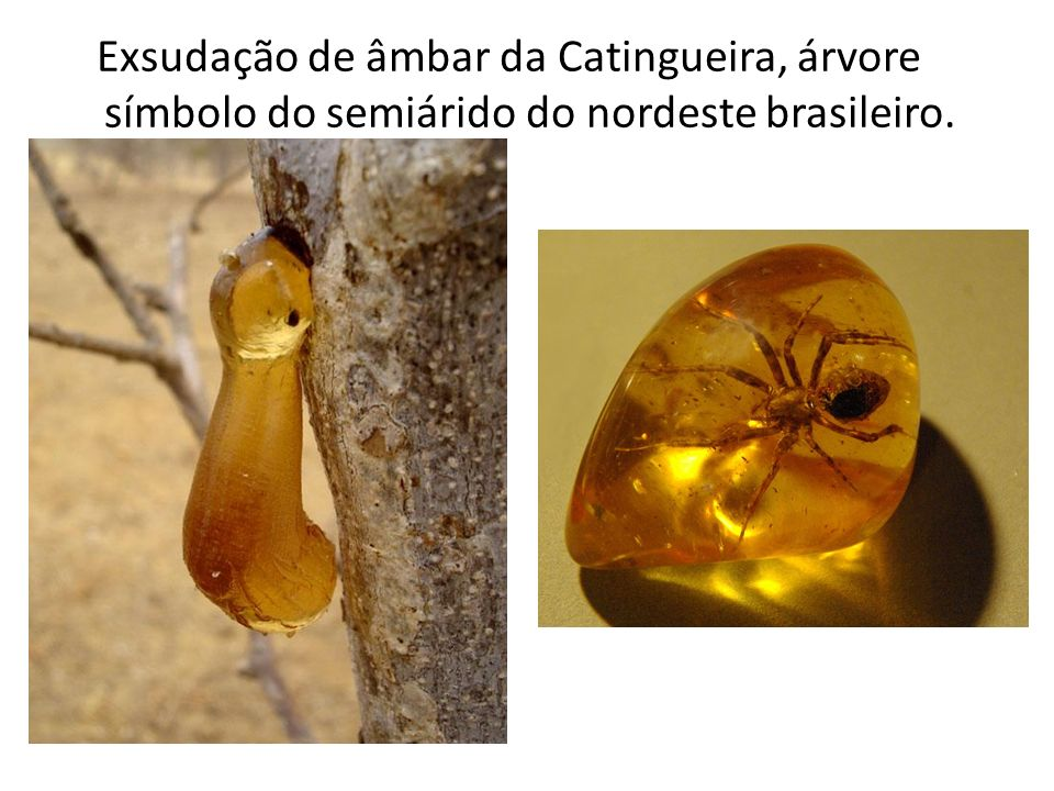 Exsudação de âmbar da Catingueira, árvore símbolo do semiárido do nordeste brasileiro.