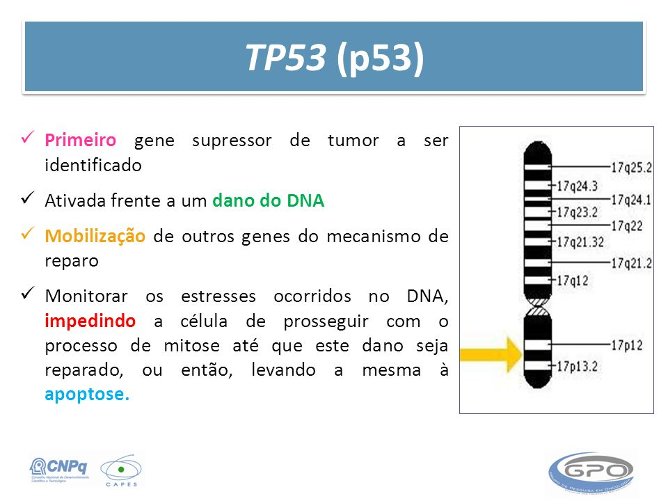 TP53 (p53) Primeiro gene supressor de tumor a ser identificado