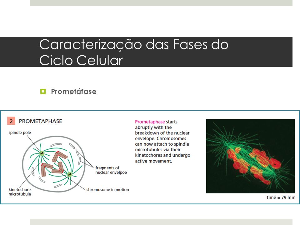 Caracterização das Fases do Ciclo Celular