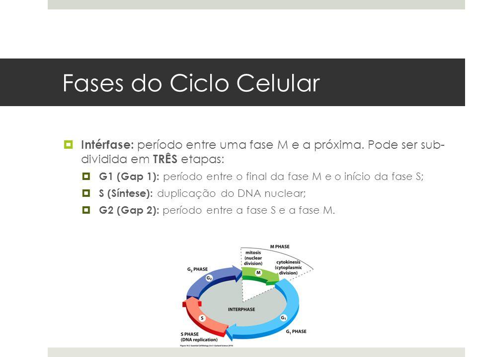 Fases do Ciclo Celular Intérfase: período entre uma fase M e a próxima. Pode ser sub- dividida em TRÊS etapas: