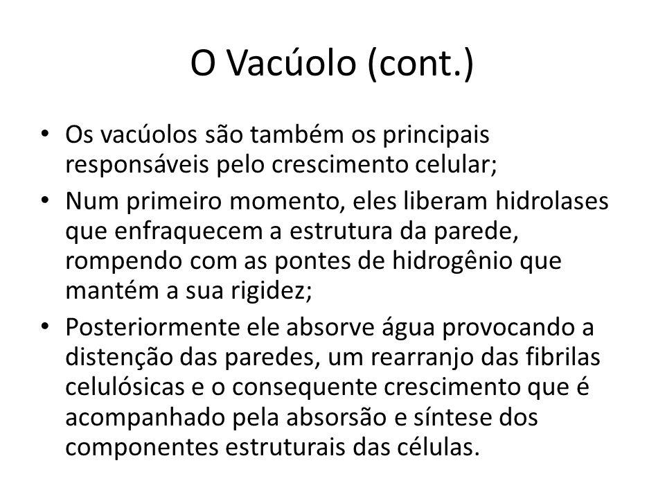 O Vacúolo (cont.) Os vacúolos são também os principais responsáveis pelo crescimento celular;