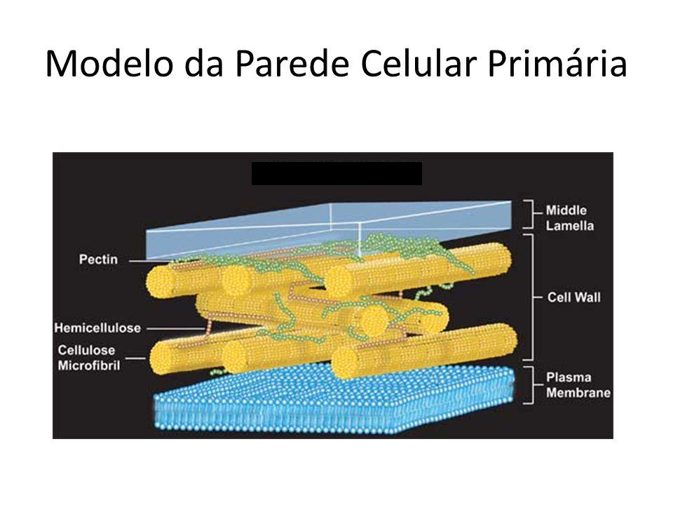 Modelo da Parede Celular Primária