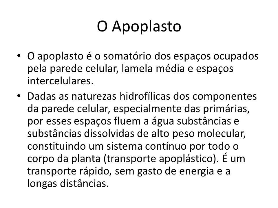 O Apoplasto O apoplasto é o somatório dos espaços ocupados pela parede celular, lamela média e espaços intercelulares.