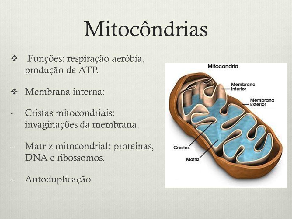 Mitocôndrias Funções: respiração aeróbia, produção de ATP.