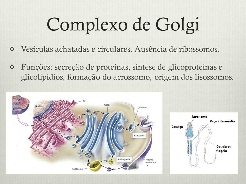 Complexo de Golgi Vesículas achatadas e circulares. Ausência de ribossomos.