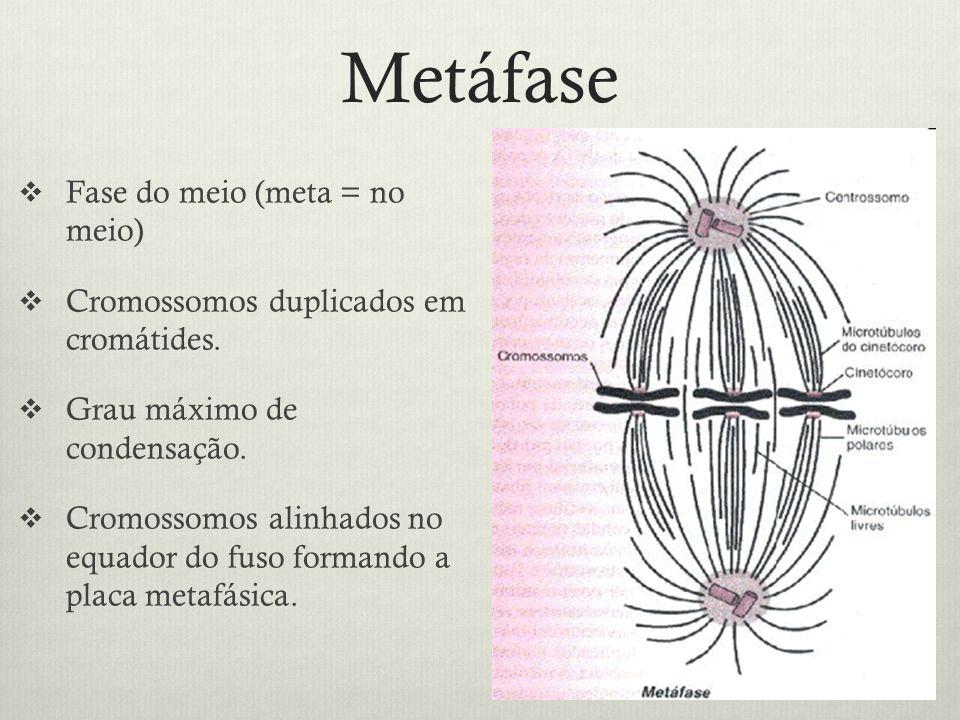 Metáfase Fase do meio (meta = no meio)