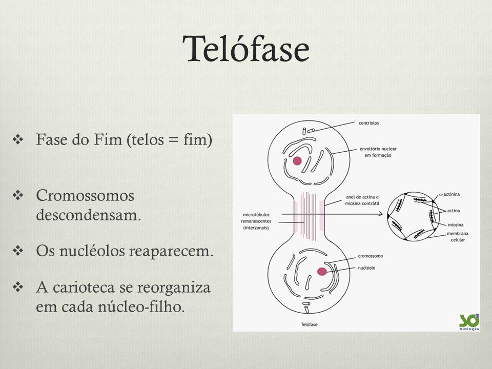 Telófase Fase do Fim (telos = fim) Cromossomos descondensam.