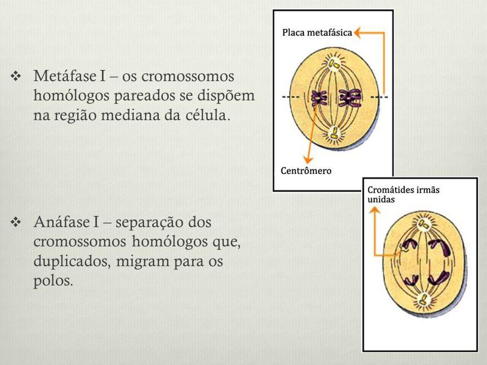 Metáfase I – os cromossomos homólogos pareados se dispõem na região mediana da célula.
