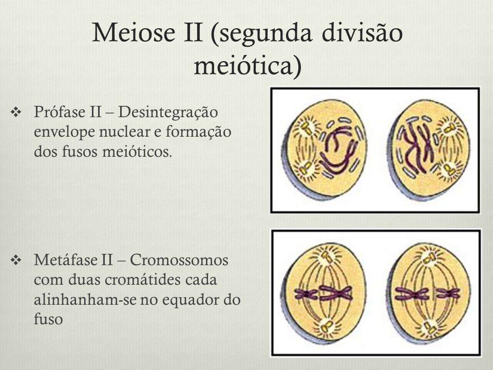 Meiose II (segunda divisão meiótica)