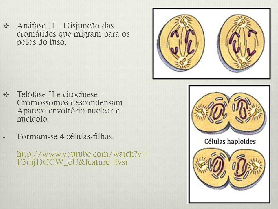 Anáfase II – Disjunção das cromátides que migram para os pólos do fuso.