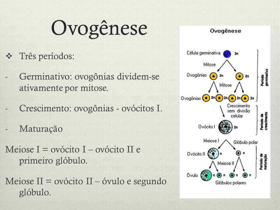 Ovogênese Três períodos: