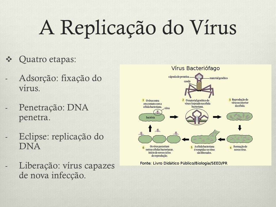 A Replicação do Vírus Quatro etapas: Adsorção: fixação do vírus.
