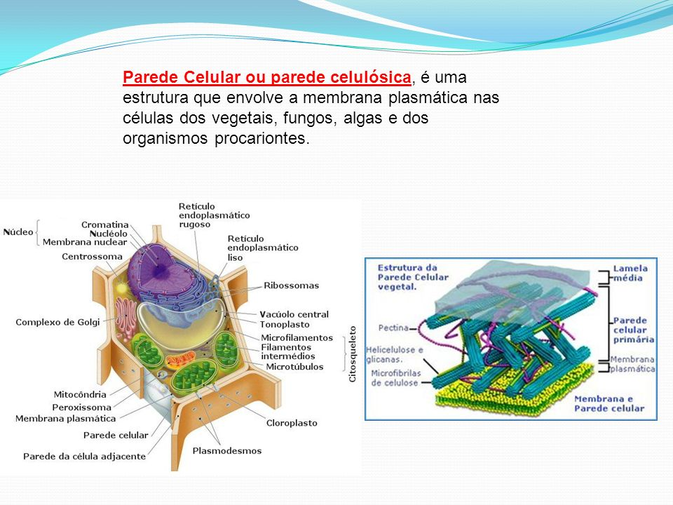 Parede Celular ou parede celulósica, é uma estrutura que envolve a membrana plasmática nas células dos vegetais, fungos, algas e dos organismos procariontes.