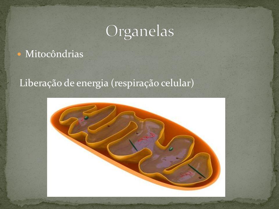 Organelas Mitocôndrias Liberação de energia (respiração celular)