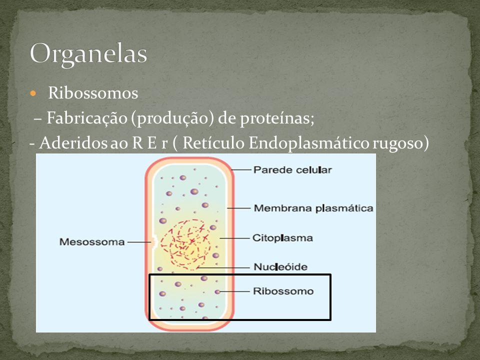 Organelas Ribossomos – Fabricação (produção) de proteínas;