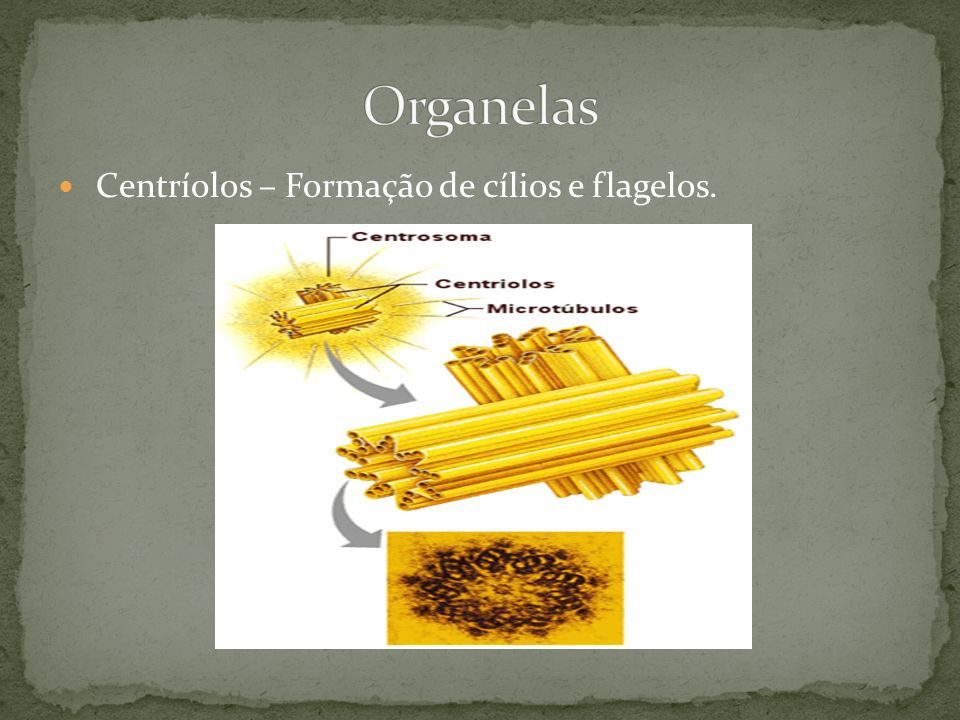 Organelas Centríolos – Formação de cílios e flagelos.