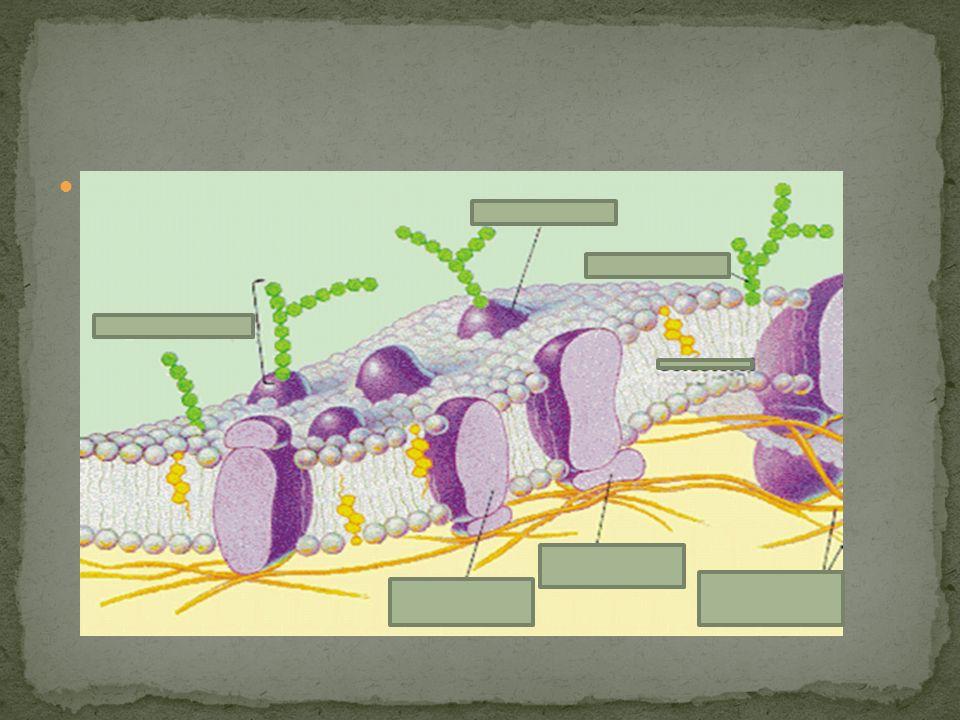 Figura membrana plasmática