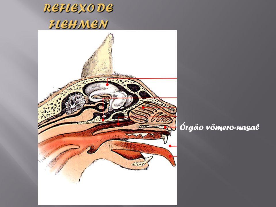 Reflexo de Flehmen Órgão vômero-nasal