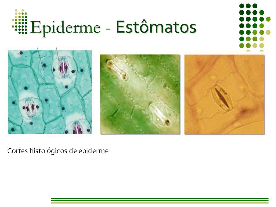 Epiderme - Estômatos Cortes histológicos de epiderme