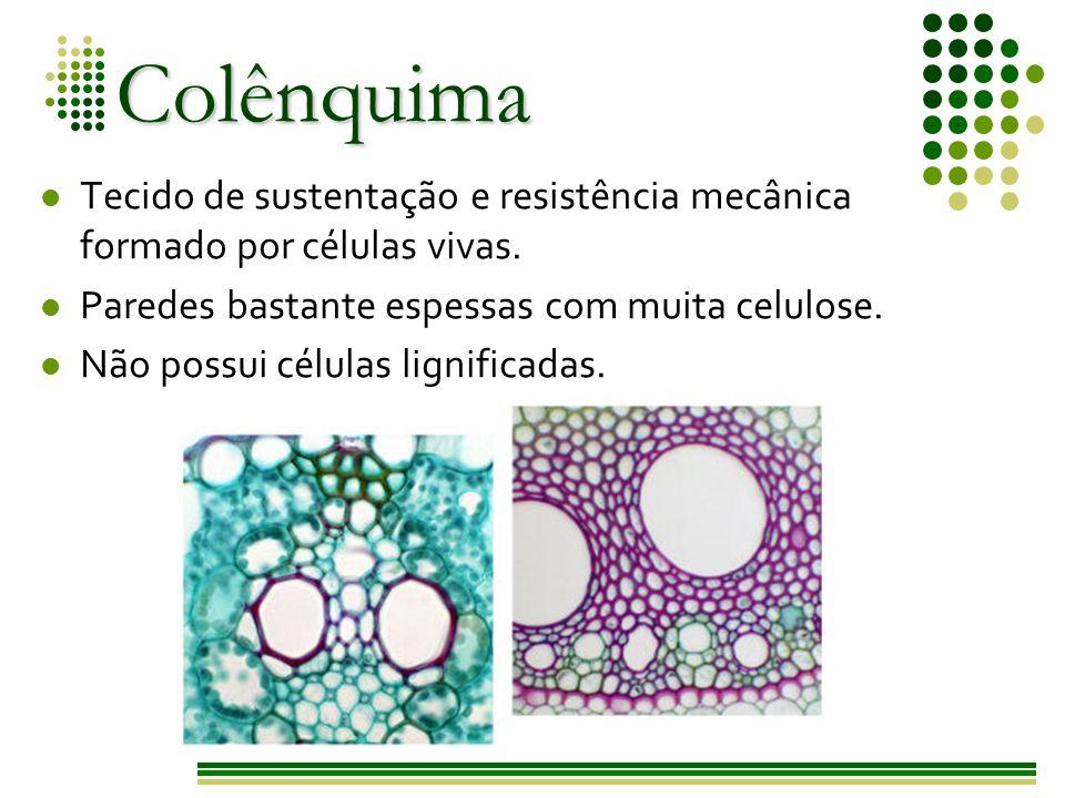 Colênquima Tecido de sustentação e resistência mecânica formado por células vivas. Paredes bastante espessas com muita celulose.