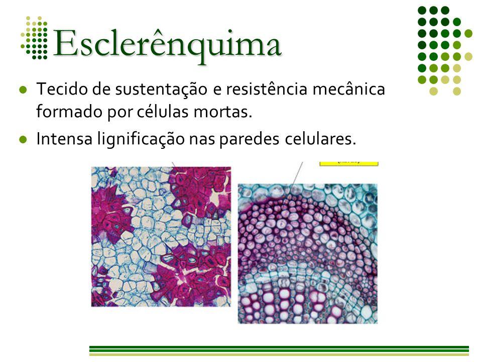 Esclerênquima Tecido de sustentação e resistência mecânica formado por células mortas.