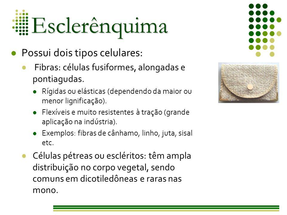Esclerênquima Possui dois tipos celulares: