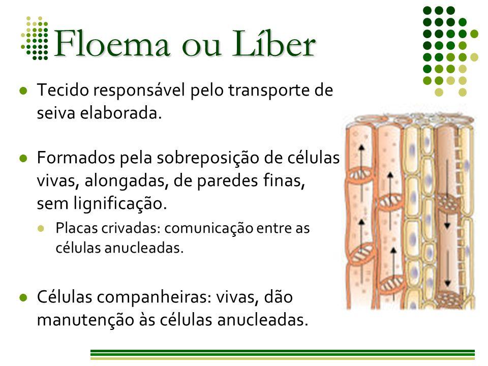 Floema ou Líber Tecido responsável pelo transporte de seiva elaborada.