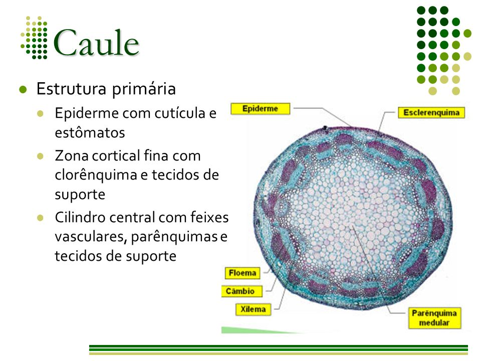 Caule Estrutura primária Epiderme com cutícula e estômatos