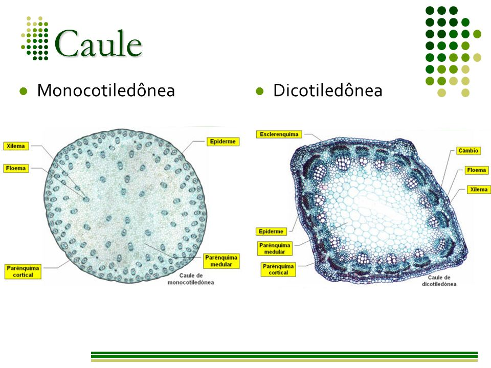 Caule Monocotiledônea Dicotiledônea