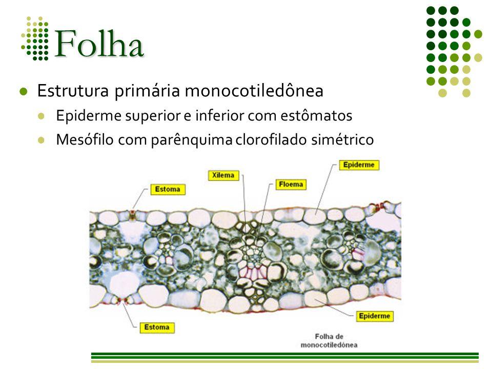 Folha Estrutura primária monocotiledônea