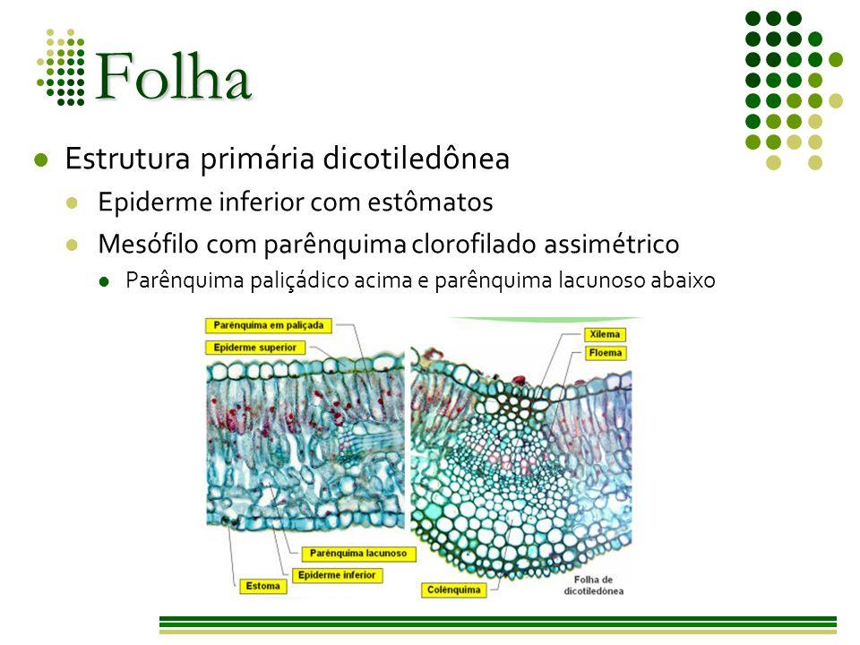 Folha Estrutura primária dicotiledônea Epiderme inferior com estômatos