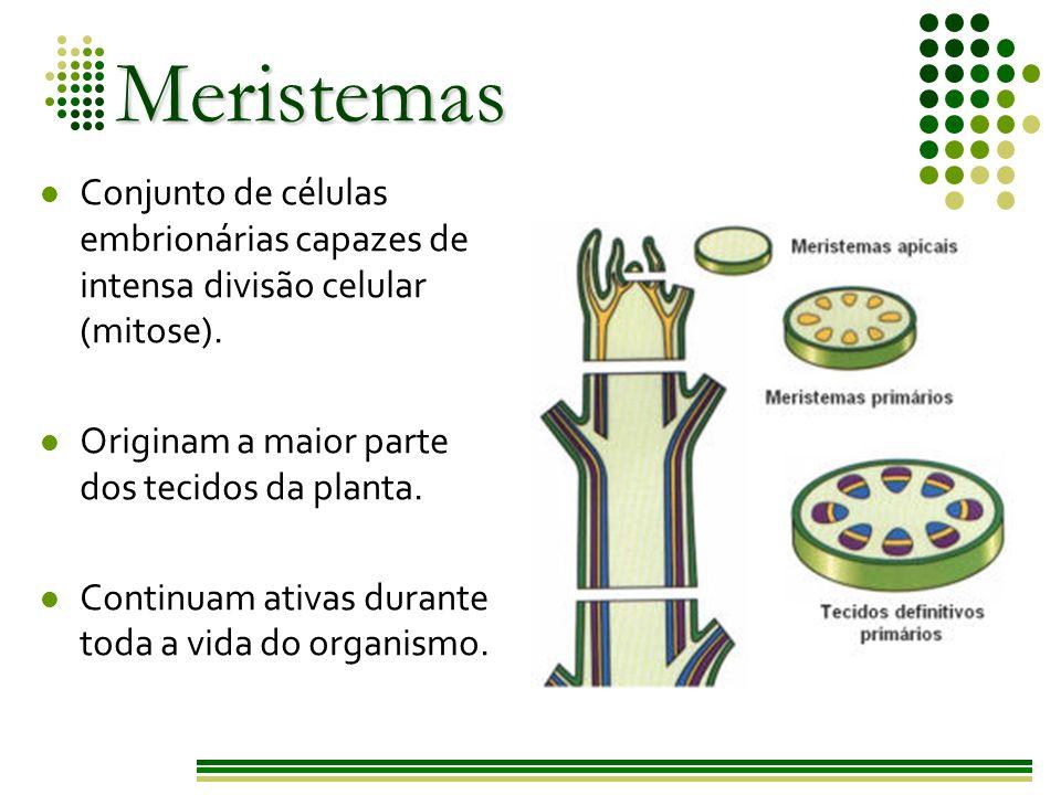 Meristemas Conjunto de células embrionárias capazes de intensa divisão celular (mitose). Originam a maior parte dos tecidos da planta.