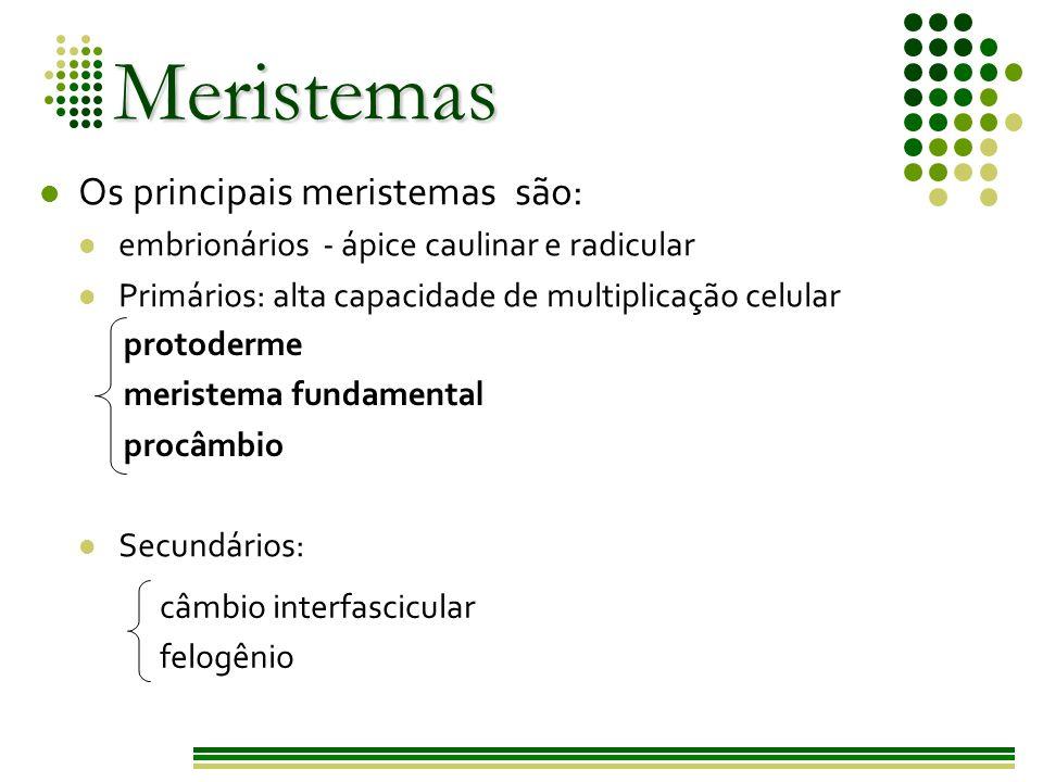 Meristemas Os principais meristemas são:
