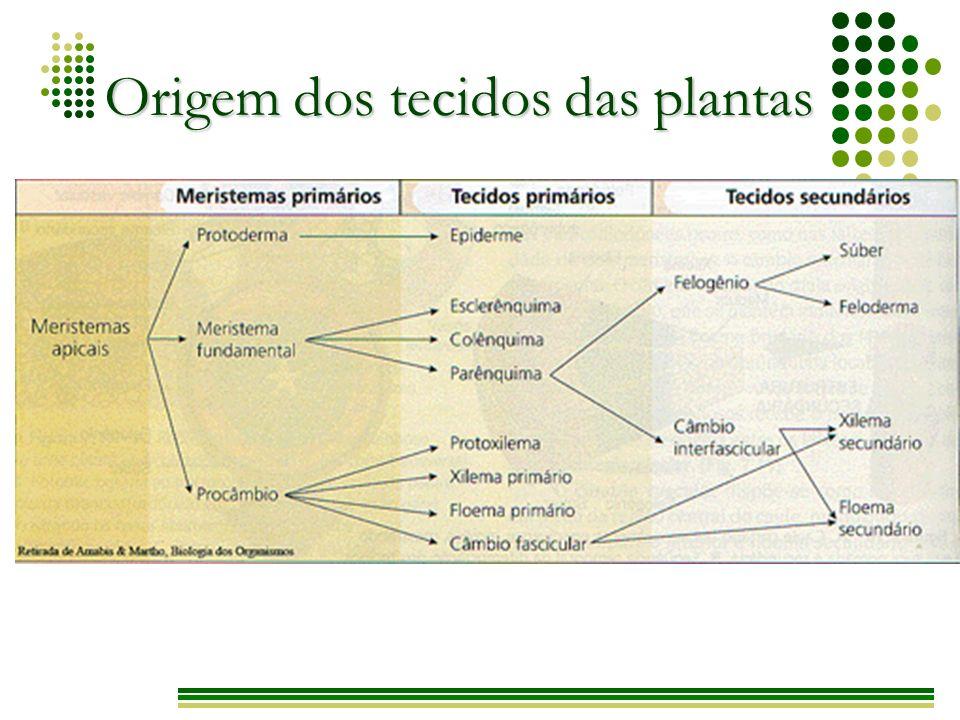 Origem dos tecidos das plantas