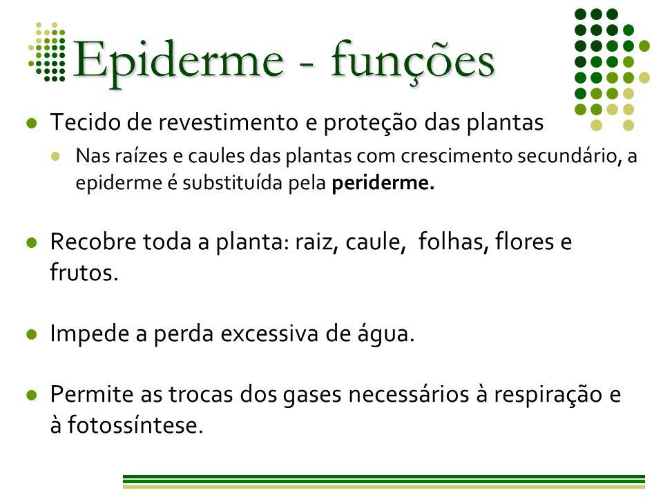 Epiderme - funções Tecido de revestimento e proteção das plantas