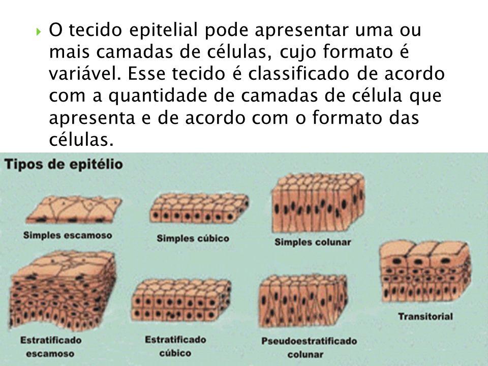 O tecido epitelial pode apresentar uma ou mais camadas de células, cujo formato é variável.