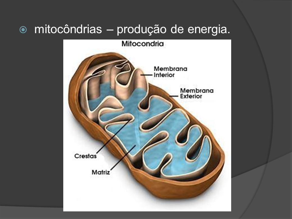 mitocôndrias – produção de energia.