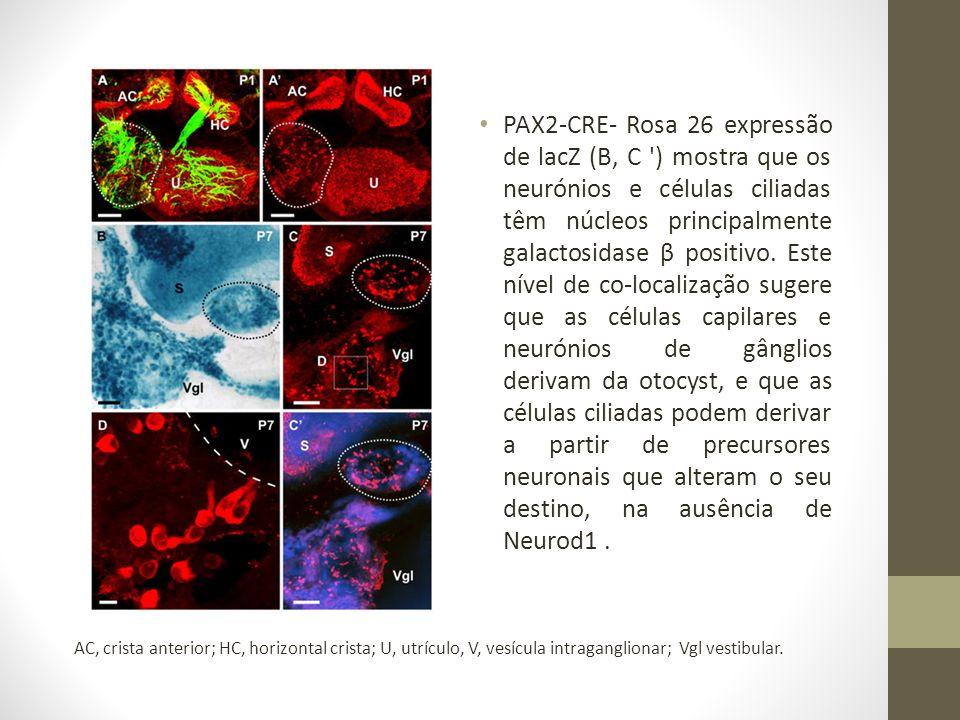 PAX2-CRE- Rosa 26 expressão de lacZ (B, C ) mostra que os neurónios e células ciliadas têm núcleos principalmente galactosidase β positivo. Este nível de co-localização sugere que as células capilares e neurónios de gânglios derivam da otocyst, e que as células ciliadas podem derivar a partir de precursores neuronais que alteram o seu destino, na ausência de Neurod1 .