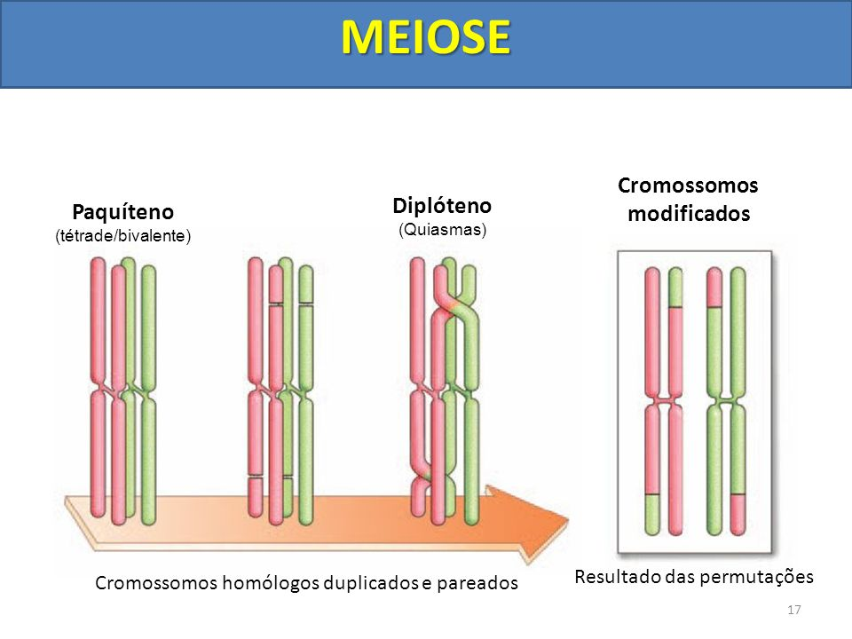 MEIOSE Cromossomos modificados Diplóteno Paquíteno