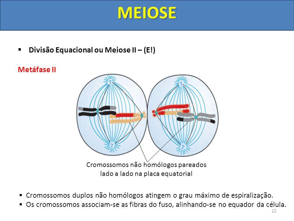Cromossomos não homólogos pareados lado a lado na placa equatorial