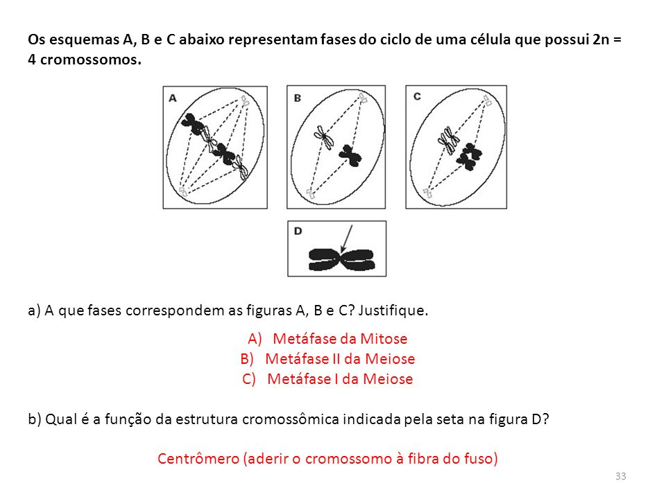 Centrômero (aderir o cromossomo à fibra do fuso)