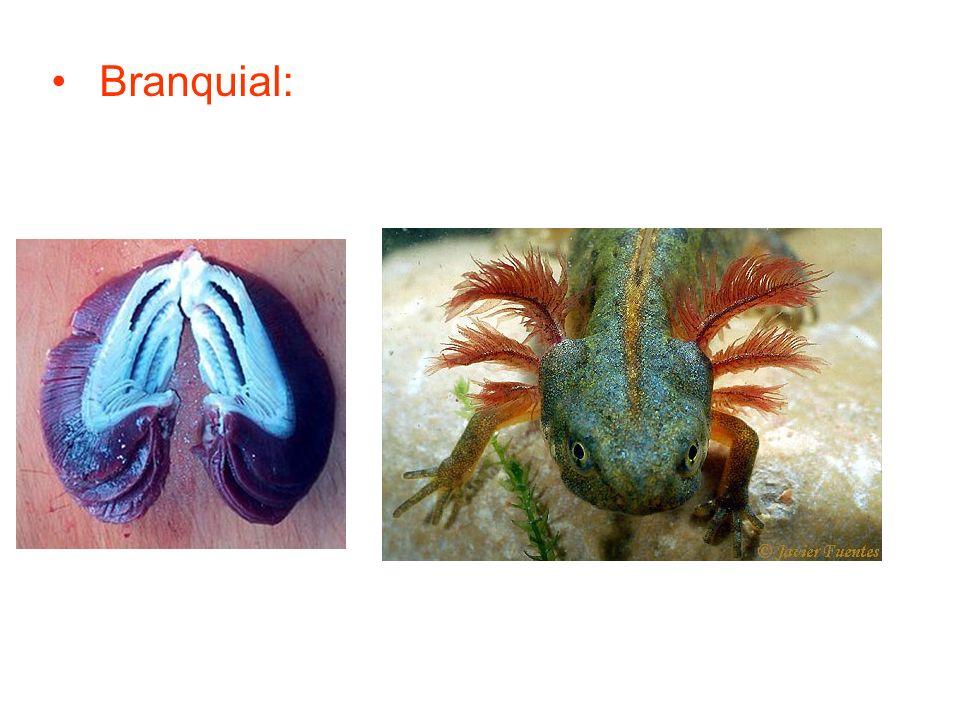 Branquial: