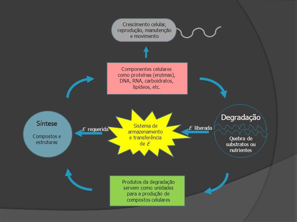 Degradação Síntese Crescimento celular, reprodução, manutenção