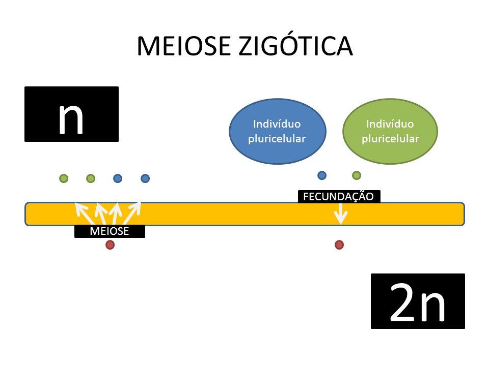 n 2n MEIOSE ZIGÓTICA Indivíduo pluricelular Indivíduo pluricelular