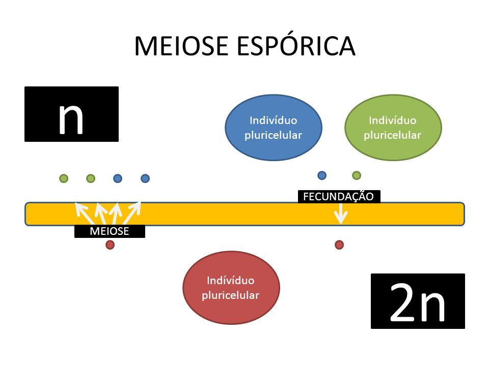 n 2n MEIOSE ESPÓRICA Indivíduo pluricelular Indivíduo pluricelular