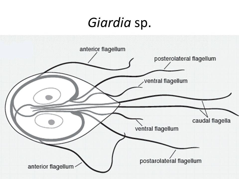 Giardia sp.