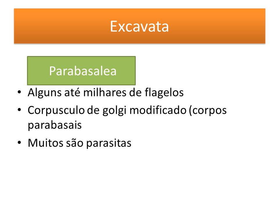 Excavata Parabasalea Alguns até milhares de flagelos