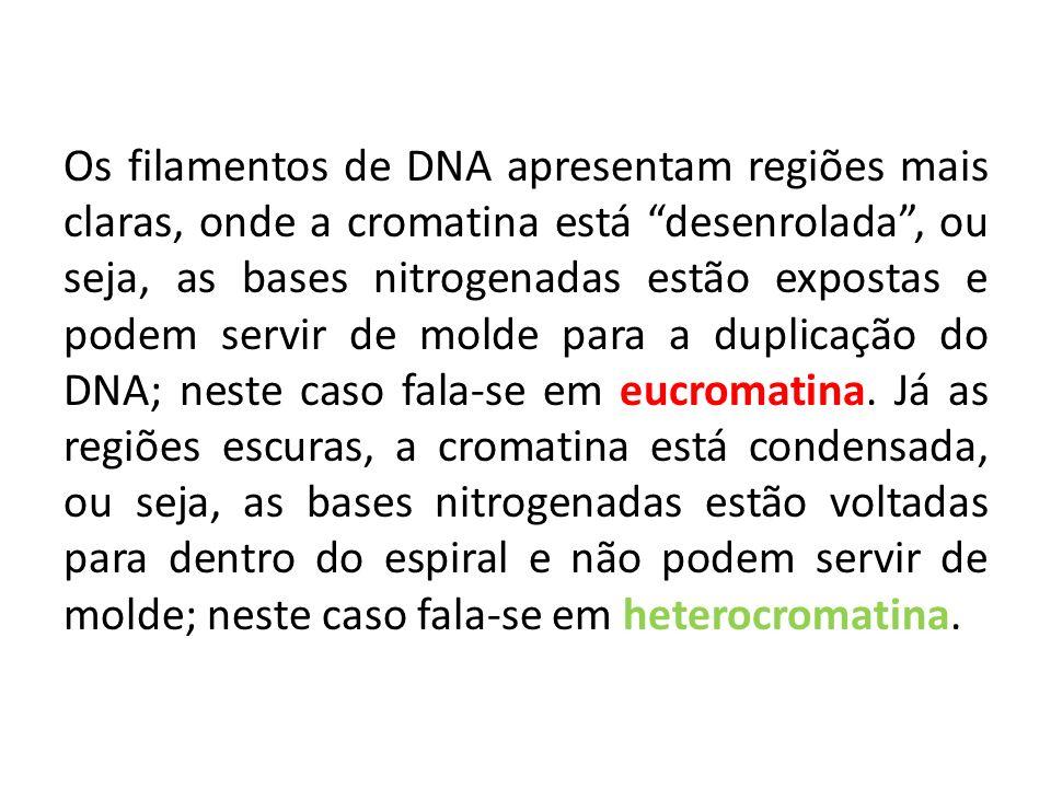 Os filamentos de DNA apresentam regiões mais claras, onde a cromatina está desenrolada , ou seja, as bases nitrogenadas estão expostas e podem servir de molde para a duplicação do DNA; neste caso fala-se em eucromatina.