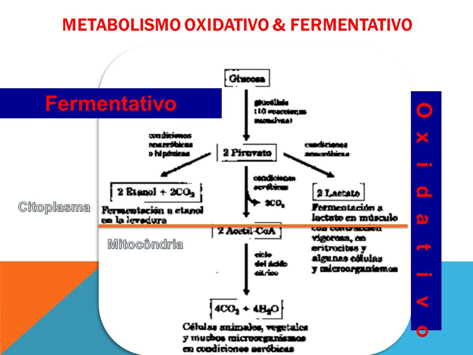 Metabolismo OXIDATIVO & fermentativo