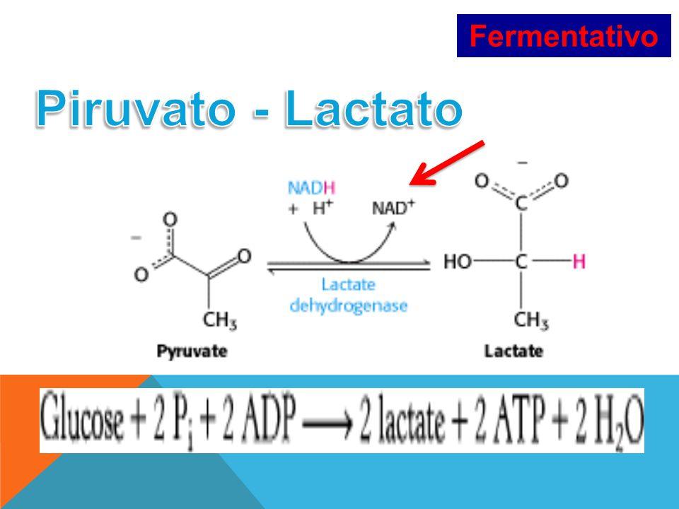Fermentativo Piruvato - Lactato